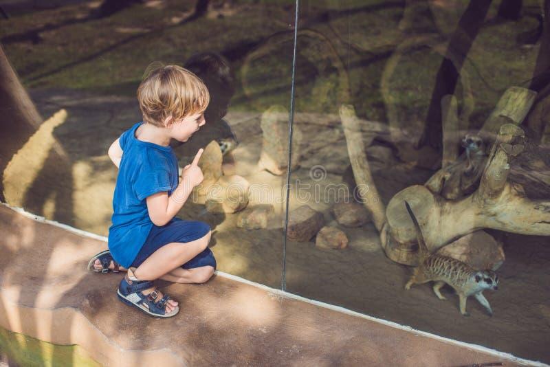 Chłopiec, śliczni berbecia dzieciaka dopatrywania meerkats w zoo Dziecko patrzeje zwierzęta w safari parku fotografia royalty free