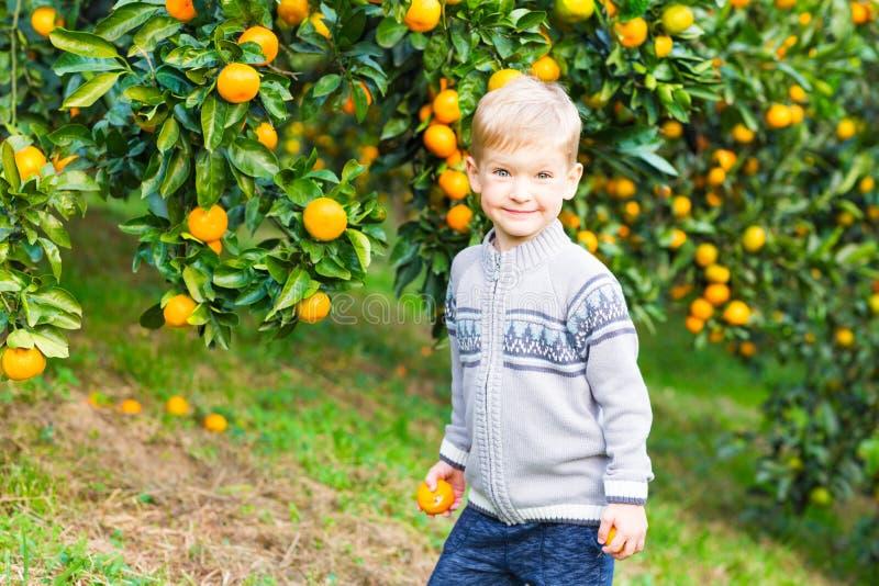 Chłopiec żniwo mandarynki pomarańcze na owoc gospodarstwie rolnym obrazy stock