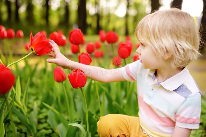 Chłopiec podziwia czerwonych tulipany w ogródzie przy letnim dniem lub wiosną zdjęcia royalty free