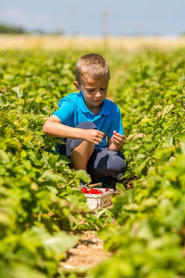 Chłopiec zrywania truskawki obrazy royalty free
