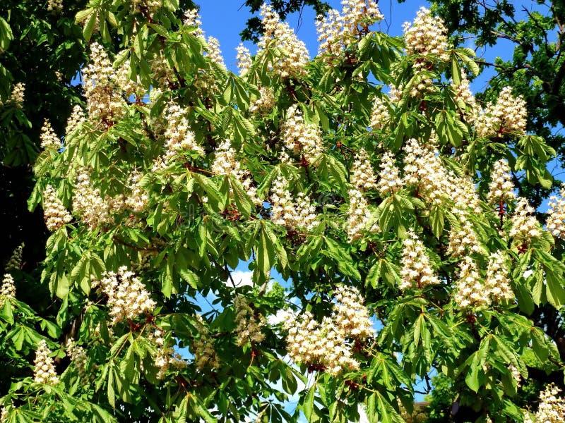 Ch?taigne de floraison de ressort un matin ensoleill? contre le ciel bleu Bougies blanches de ch?taigne images libres de droits