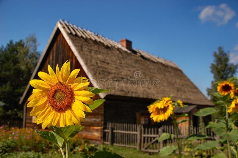 chałupa przodu domu stary słonecznik zdjęcia royalty free