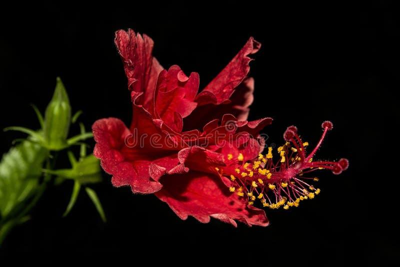 Cha-bedelaars Rode Hibiscusbloem en Gele Meeldraad op zwarte achtergrond stock foto's