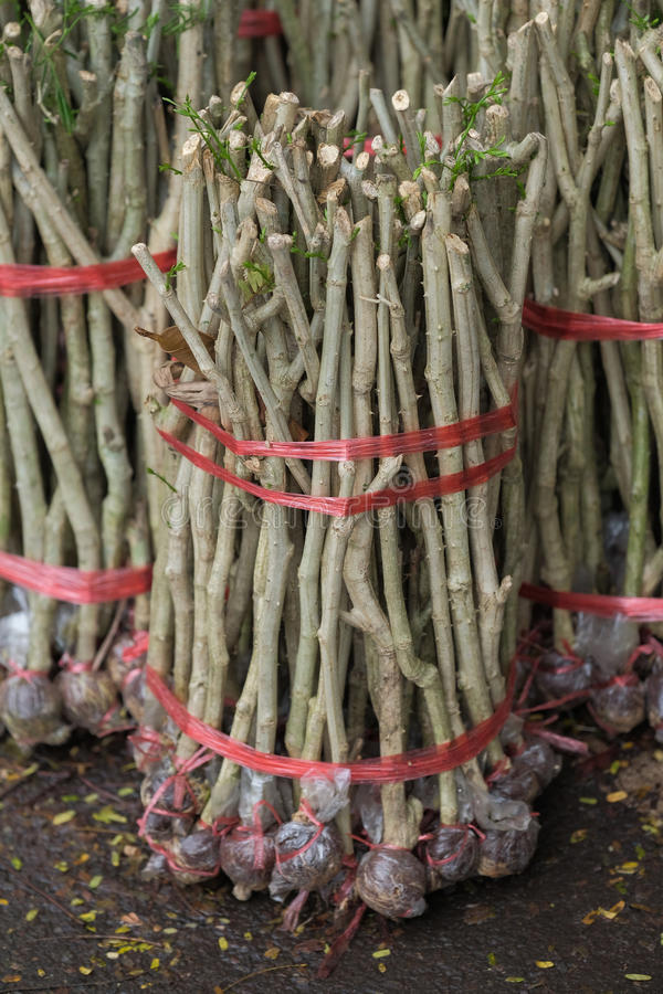Cha Cha-om, Acacia pennata vegetables royalty free stock photo