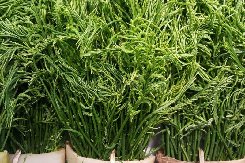 Cha-OM frais en gros plan, pennata d'acacia, acacia Pennata L Willd Sous-espèce InsuavisNielsen photos stock