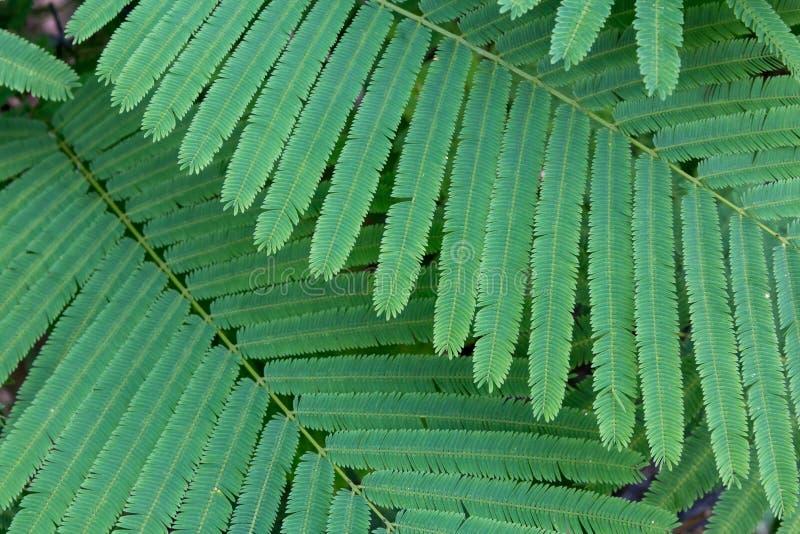 Cha-OM oder Akazie Pennata oder kletternder Blattgemüsebetriebsbaum des Zweigs grüner lizenzfreies stockfoto