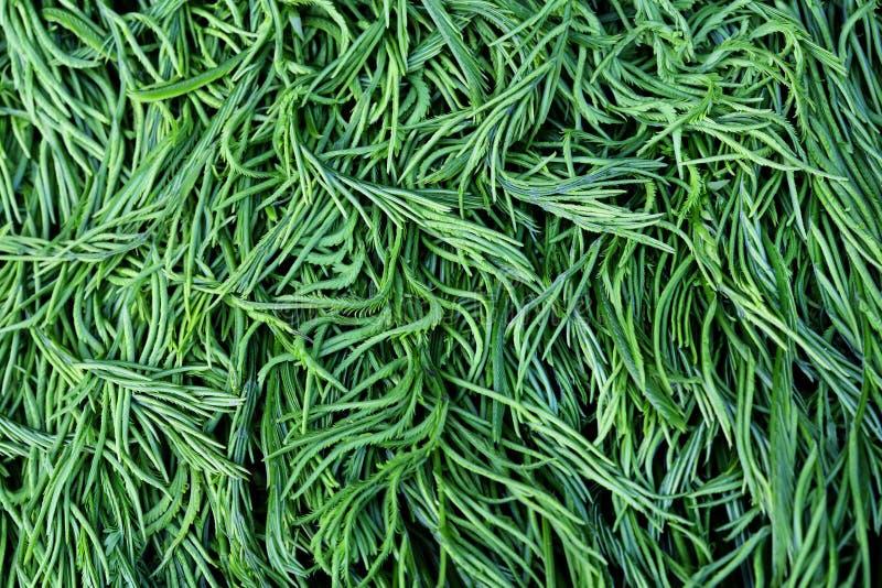 Cha-OM is Thaise groente of Acacia Pennata royalty-vrije stock foto