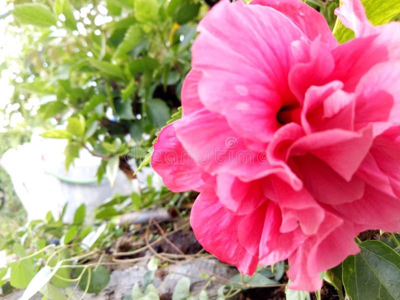 Chaba blomma royaltyfria bilder
