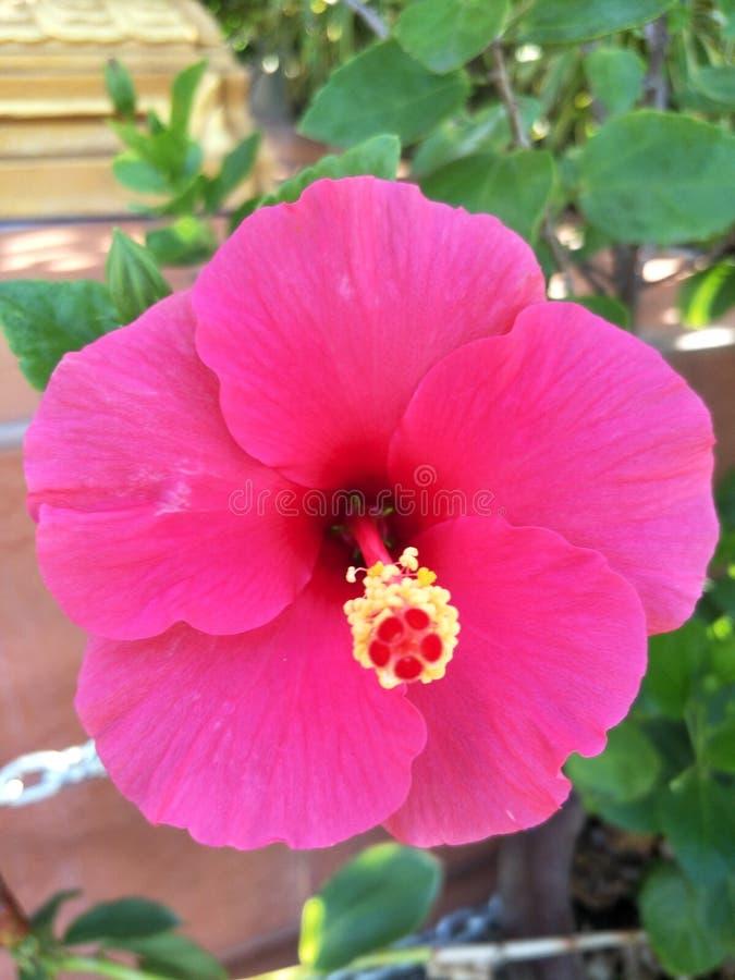Chaba Dang, blommor i krukor royaltyfri fotografi