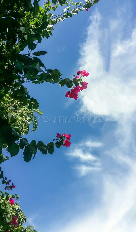 Chaba tree under the sky and clouds royalty free stock image