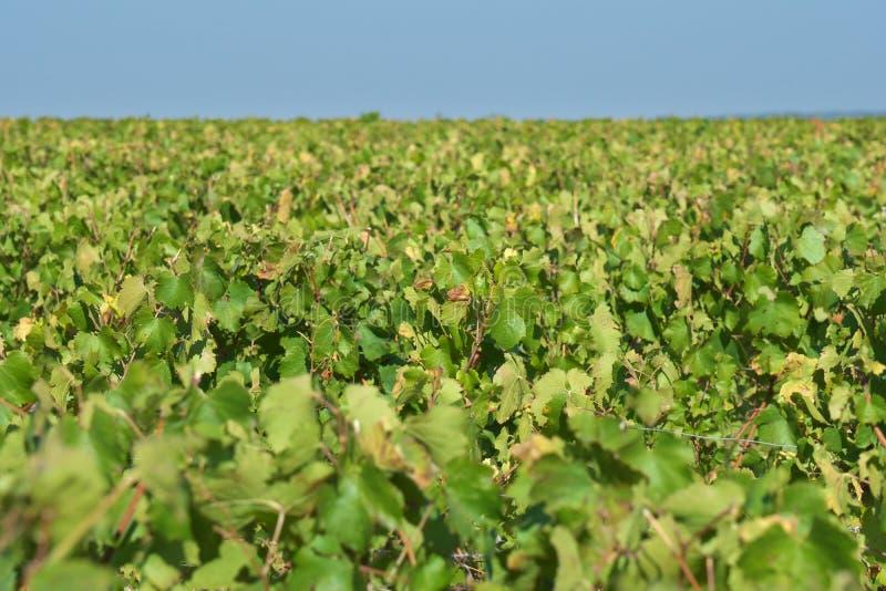 Vast plantation of grape or vineyard in Chablis, Bourgogne, in autumn. Chablis,France-October 16, 2018: Vast plantation of grape or vineyard in Chablis stock image