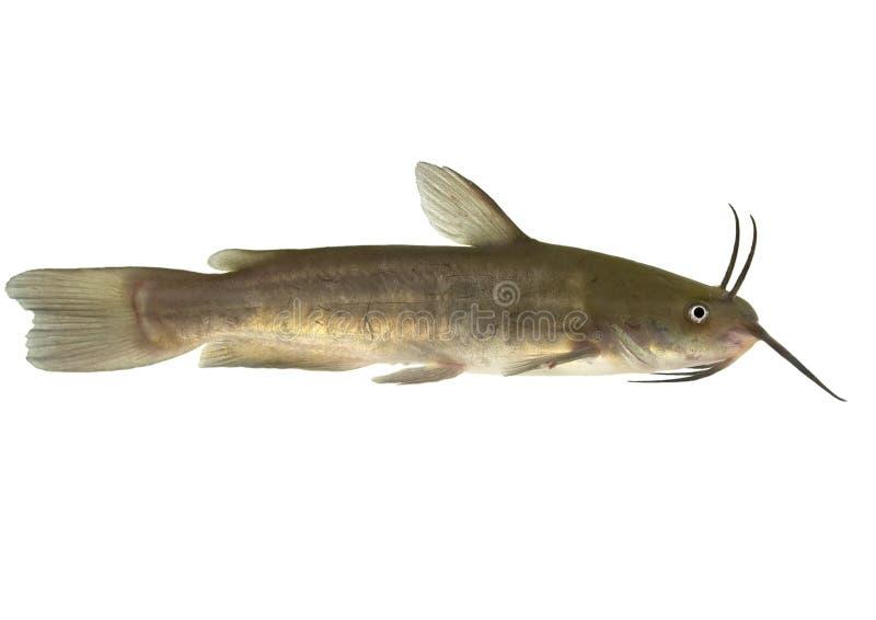 Chabot de rivière de Brown - d'isolement (ictalurus nebulosus) photographie stock libre de droits