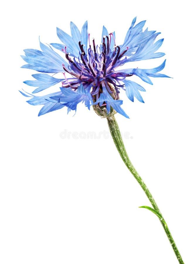 Download Chabrowy zdjęcie stock. Obraz złożonej z dekoracje, ogród - 41952548