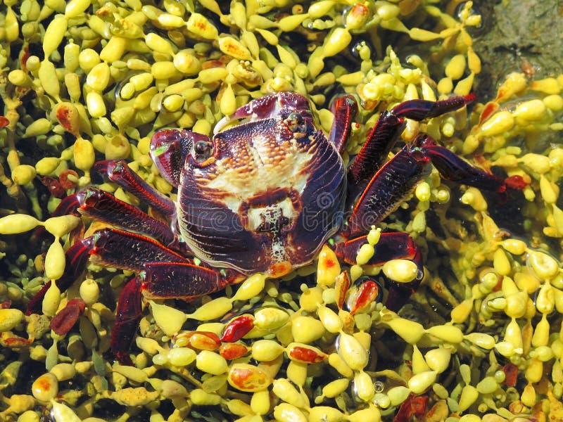 chabrus kraba plagusia czerwieni skała zdjęcia royalty free