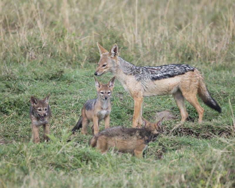 Chacal à dos noir de mère se tenant avec trois petits animaux photos libres de droits