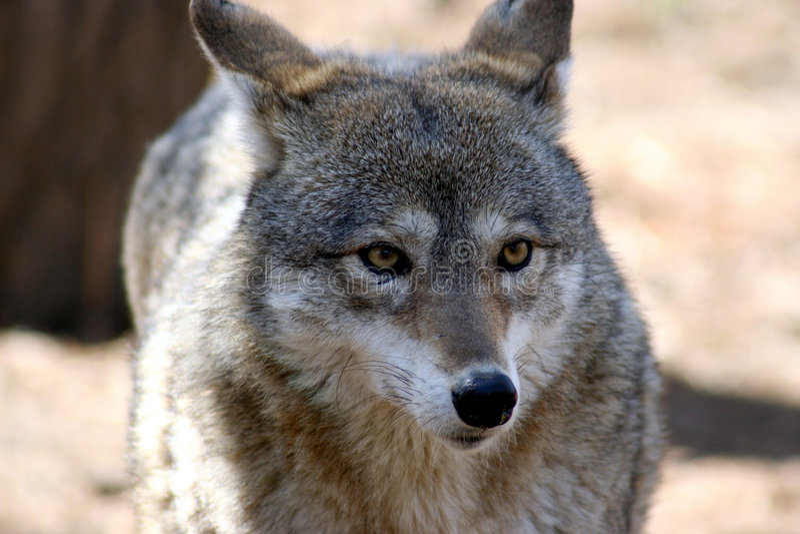 Download Chacal 5 foto de stock. Imagem de retrato, exotic, mamíferos - 534158