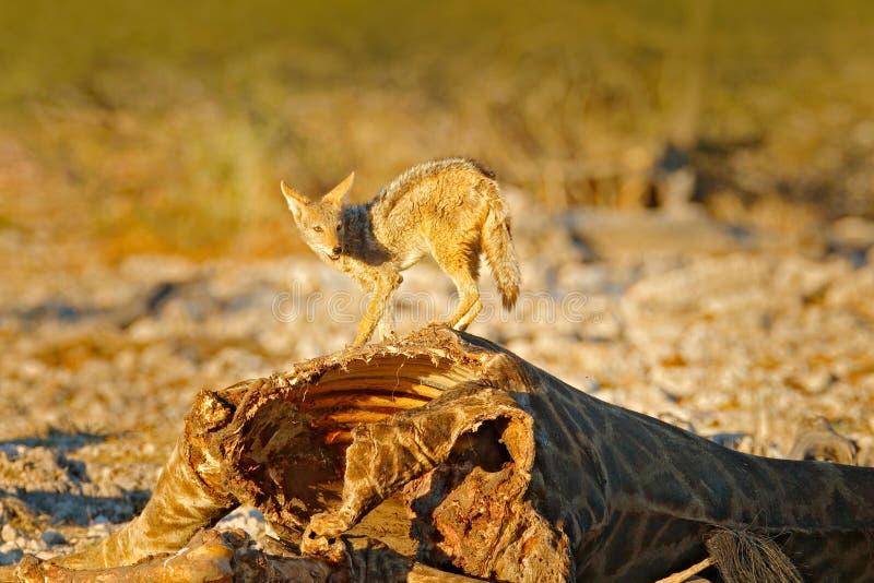 Chacal dans l'habitat, égalisant la lumière de coucher du soleil Animaux avec la nourriture, mise à mort de girafe Carcasse de gi photographie stock libre de droits