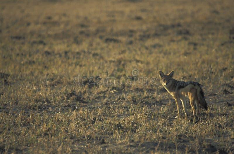 Chacal de espalda negra, mesomelas del Canis fotografía de archivo libre de regalías