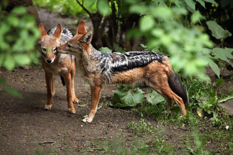 Chacal de espalda negra (mesomelas del Canis) fotos de archivo libres de regalías