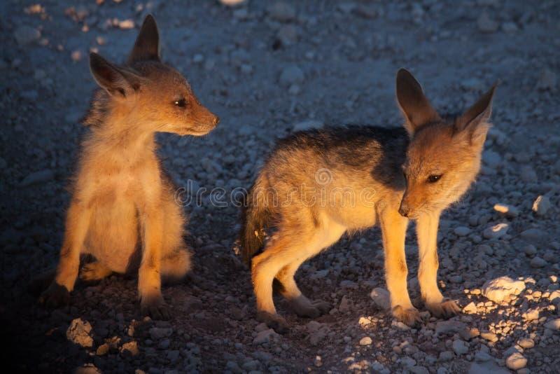 Chacal joven Cubs en crepúsculo, parque nacional de Etosha, Namibia foto de archivo libre de regalías