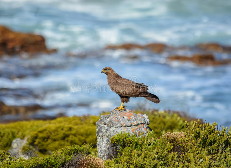 Chacal juvénile Buzzard images stock