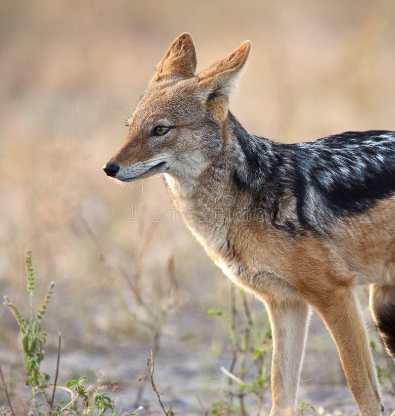 Chacal - mesomalas del Canis - Botswana foto de archivo libre de regalías