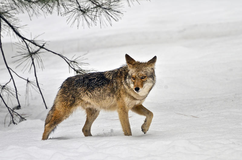Chacal que anda na neve, parque nacional de Yosemite fotos de stock royalty free
