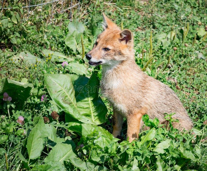 Download Chacal Se Reposant Dans L'herbe Photo stock - Image du vous, réserve: 77157574
