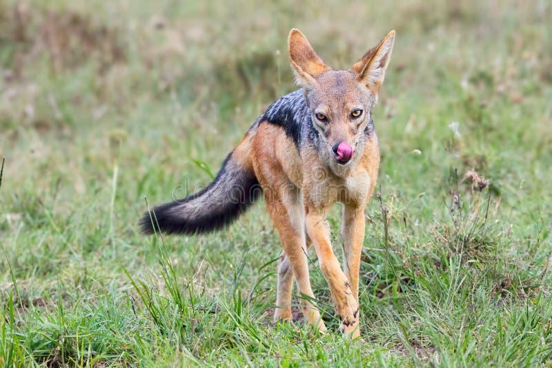 Chacal soutenu par noir, léchant des lèvres, masai Mara photos libres de droits