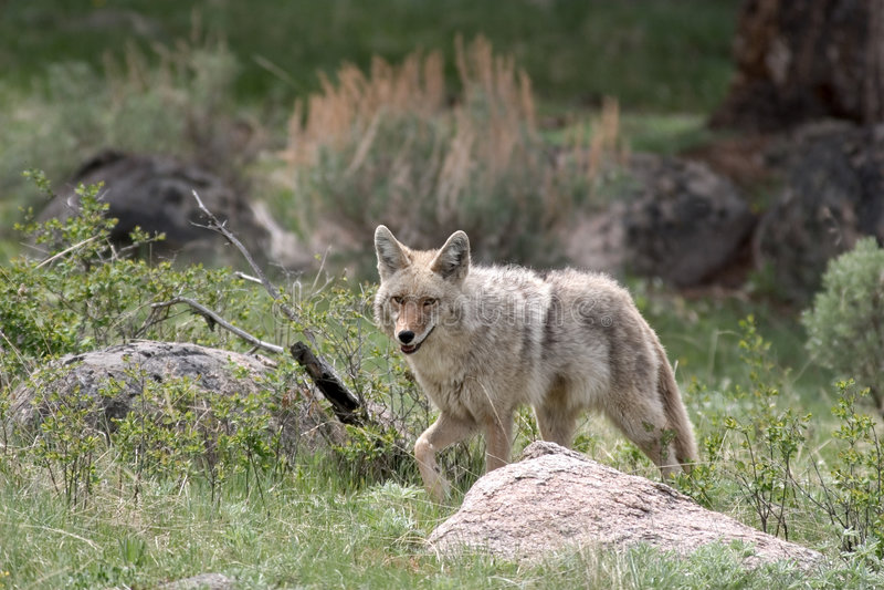 Chacal, Yellowstone NP fotografia de stock