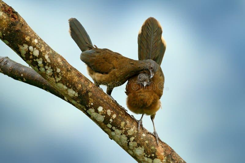 chachalaca Cinzento-dirigido, cinereiceps do Ortalis, amor do pássaro, pássaro tropico exótico, árvore do habitat da natureza da  imagem de stock royalty free