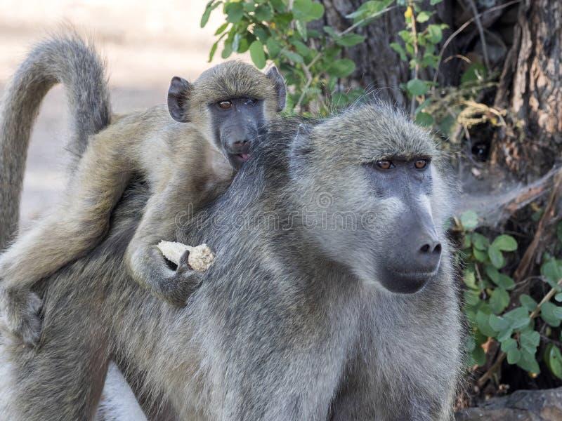 Chacma狒狒女性,狒狒ursinus griseipes,与她的婴孩,乔贝国家公园,博茨瓦纳 免版税库存照片