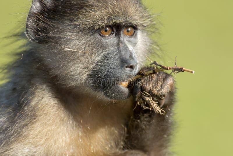 Chacma狒狒 库存照片