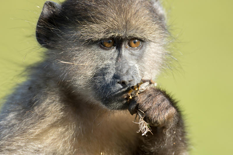 Chacma狒狒 库存图片