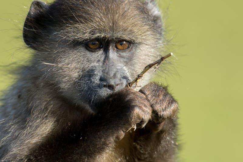 Chacma狒狒 免版税库存照片