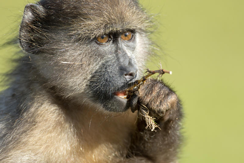 Chacma狒狒 图库摄影