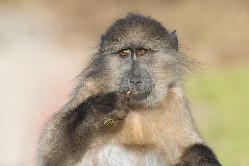 Chacma狒狒 免版税图库摄影