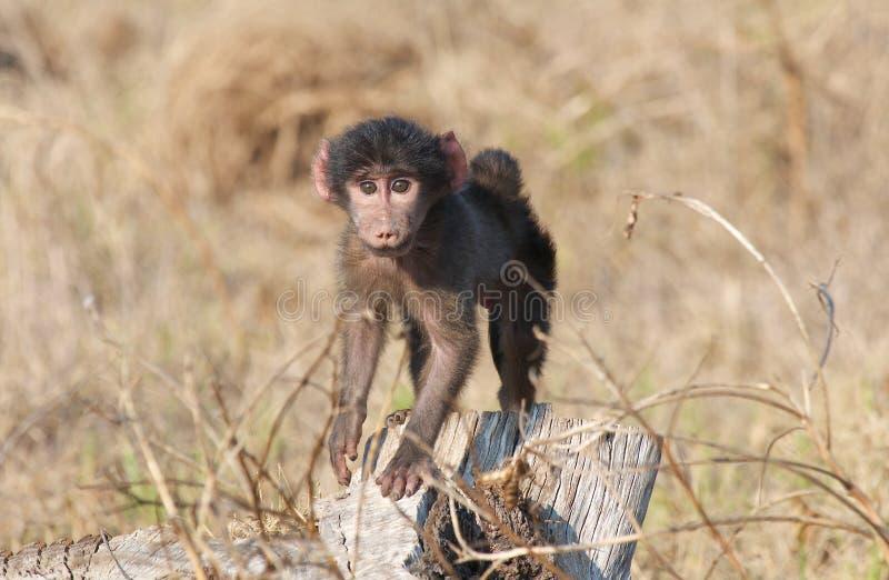 chacma младенца павиана стоковая фотография rf