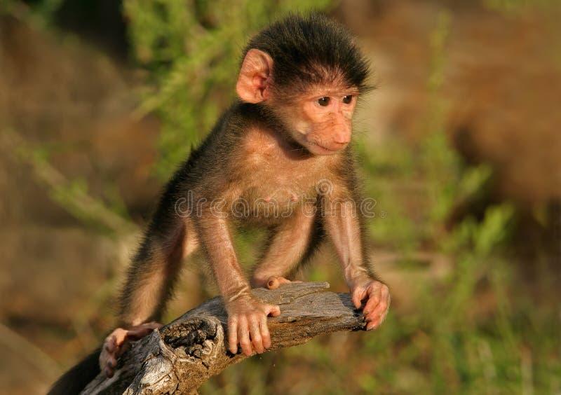 chacma младенца павиана стоковые фото