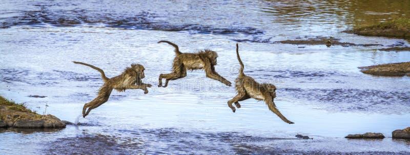 Chacma babian i den Kruger nationalparken, Sydafrika royaltyfri bild