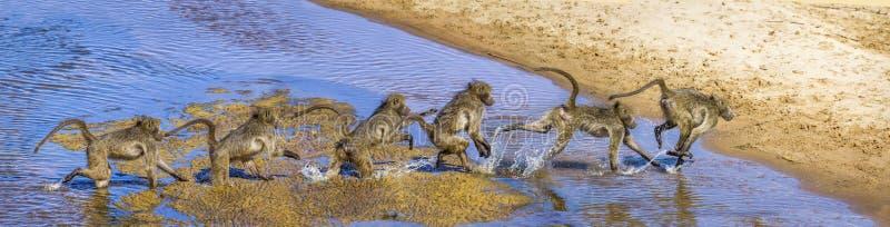 Chacma babian i den Kruger nationalparken, Sydafrika arkivfoto