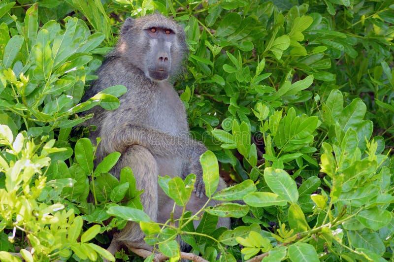 Chacma babian (Papioursinus) i den Kruger nationalparken arkivfoto