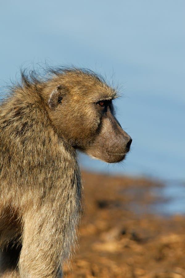 Chacma baboon. (Papio hamadryas ursinus), Kruger National Park, South Africa royalty free stock photo