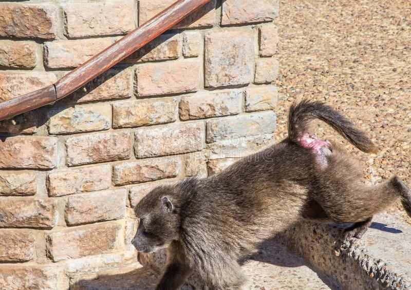 Chacma baboon aka papio ursinus at Cape Point near Cape Town in South Africa stock photography