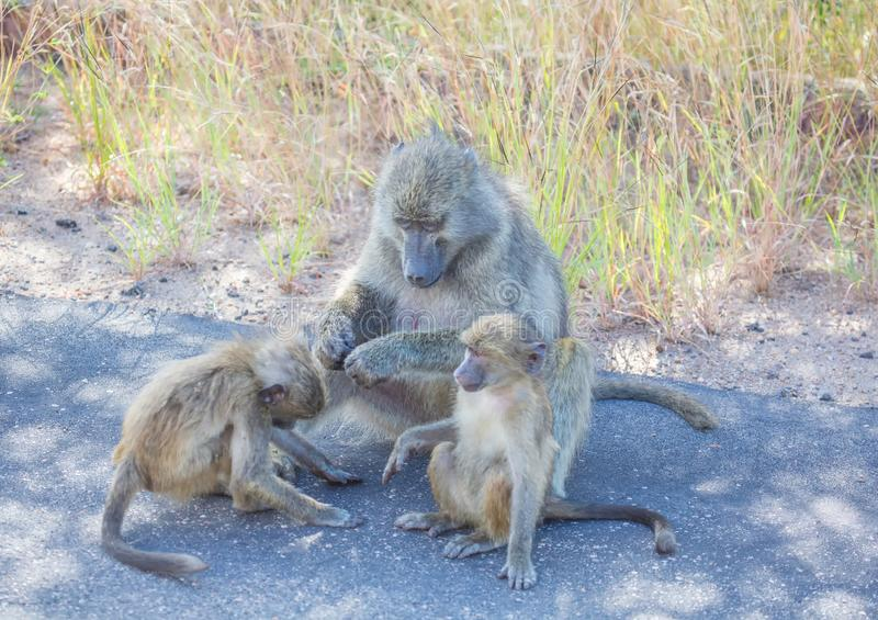 Chacma Baboon with children at the Kruger National Park stock photography