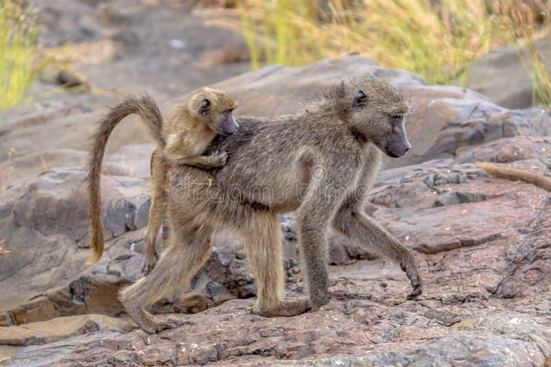 Chacma baboon family stock photos