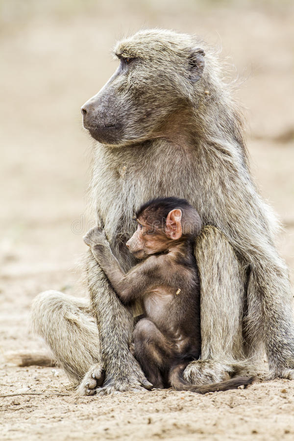 Chacma baboon female and baby in Kruger National park, South Africa stock images