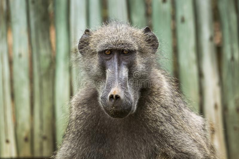 Chacma baboon in Kruger National park, South Africa royalty free stock photo