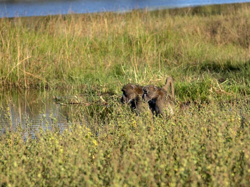 Chacma Baboon, Papio ursinus griseipes, by the lake, reservation Bwabwata, Namibia stock photography