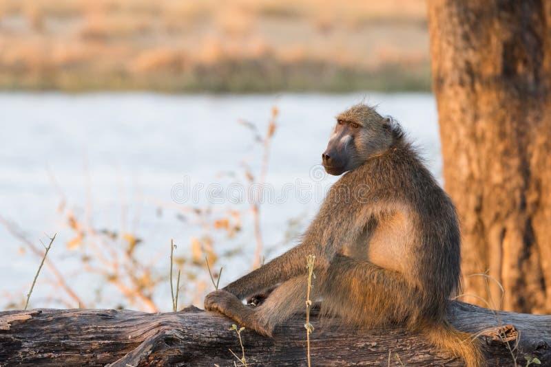 Chacma Baboon Papio ursinus sitting on log. Next to river at sunset Bwabwata National Park, Namibia royalty free stock photo